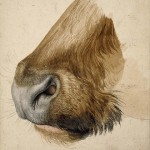 durer-muzzle-of-a-bull